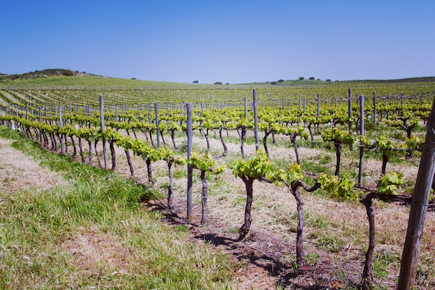 View on spring vineyard with blue sky