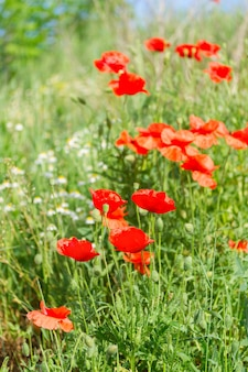 View of summer red poppy filed with fresh green grass