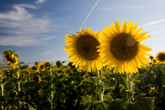 View of a sunflower field with two sunflowers close to right of the picture.