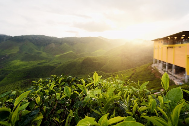 View of tea plantation in sunset/sunrise time in in cameron highlands, malaysia.