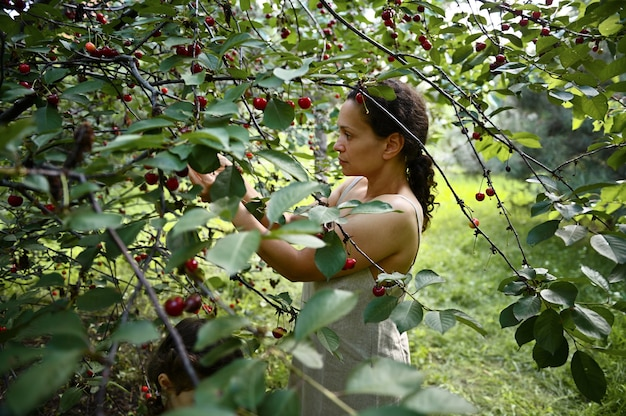 View through cherry tree branches to a serene beautiful woman in linen dress picking cherries in the orchard.