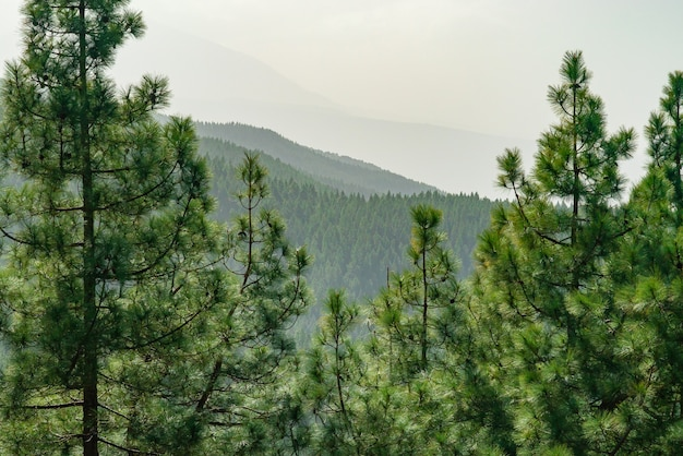 View through pine on mountain forest landscape.