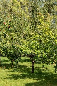 Вид на фруктовые деревья в саду. фруктовый сад в солнечный день.