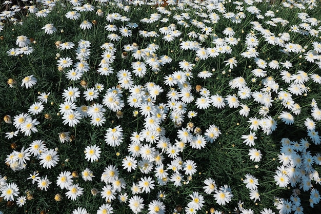 View of top a field of daisies flowers  in summer spring meadow