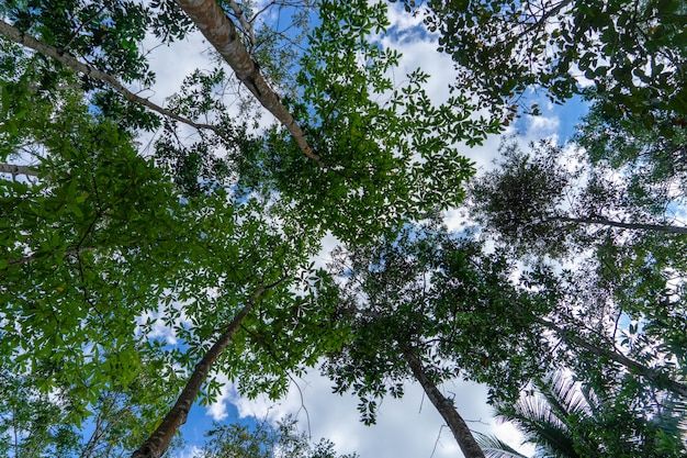 View of trees in the middle of tropical forest from the ground with white cloud and blue sky.