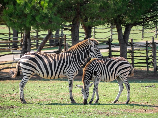 View of two zebras in a zoo with a wooden fence on the  surface