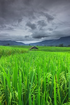 View of the vast green rice fields with a cloud in indonesia