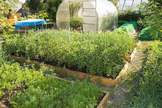 View of a vegetable garden with vegetable beds of tomatoes, carrots and a semicircular polycarbonate greenhouse. home gardening