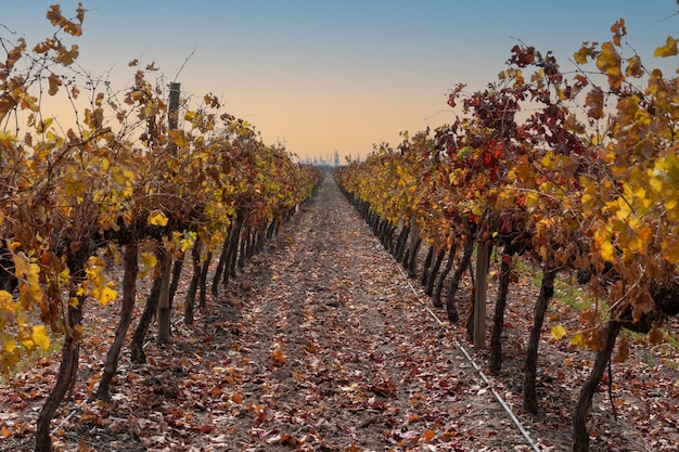 秋に上質なブドウのブドウ園を見る