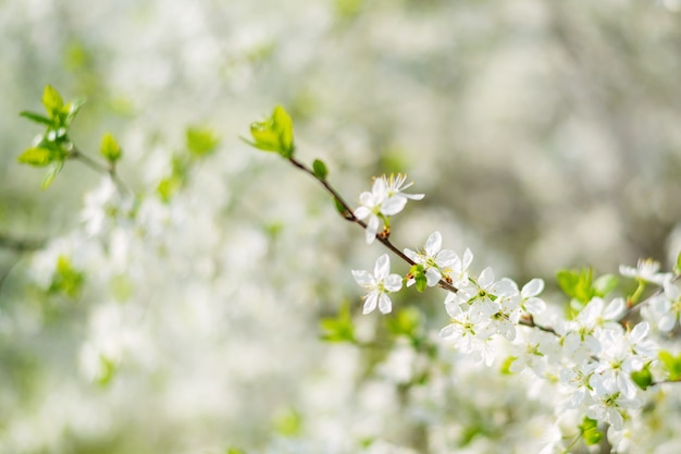 View of a white blooming sweet bird cherry tree in spring garden