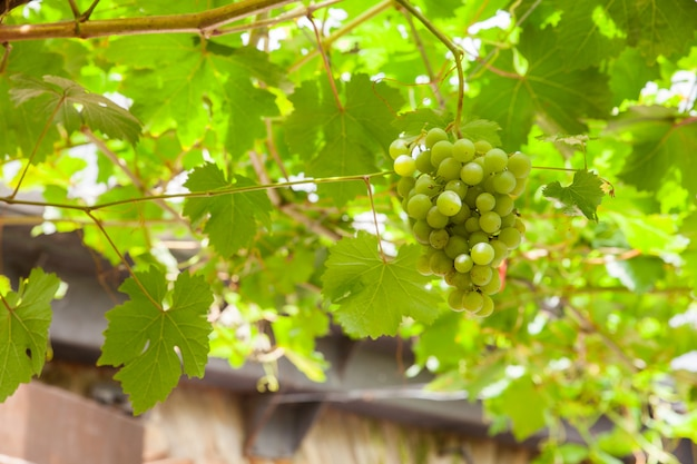 View of white grapes