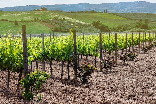 View of wine field and grape in italy