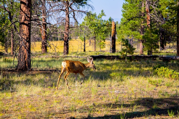 View of young deer in the forest by the grand canyon