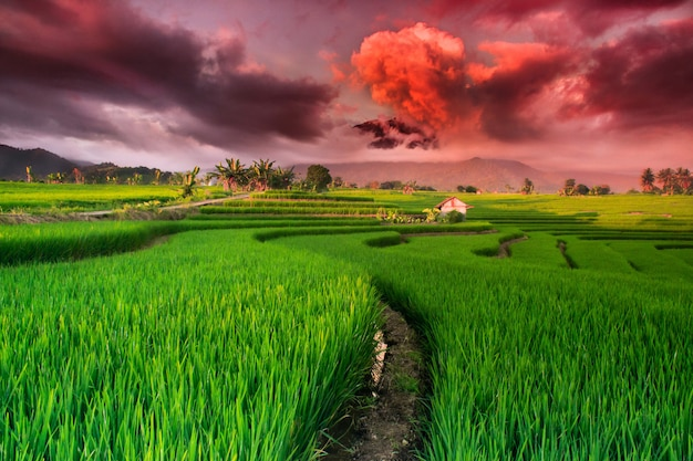Views of green rice paddies with beautiful sky in the rainy season in north bengkulu