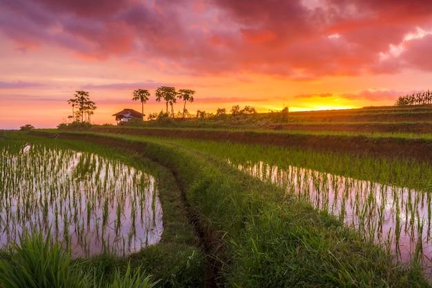 인도네시아의 불 같은 붉은 석양에 녹색 쌀로 새로 심은 논의 전망