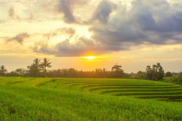 노란 쌀과 일몰이있는 작고 아름다운 마을의 논 풍경