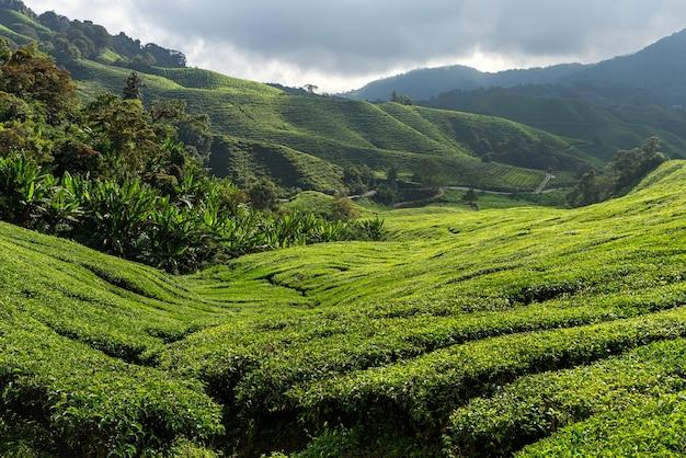キャメロンハイランドの茶畑の眺め