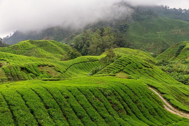 Вид на чайную плантацию в камерон-хайлендс