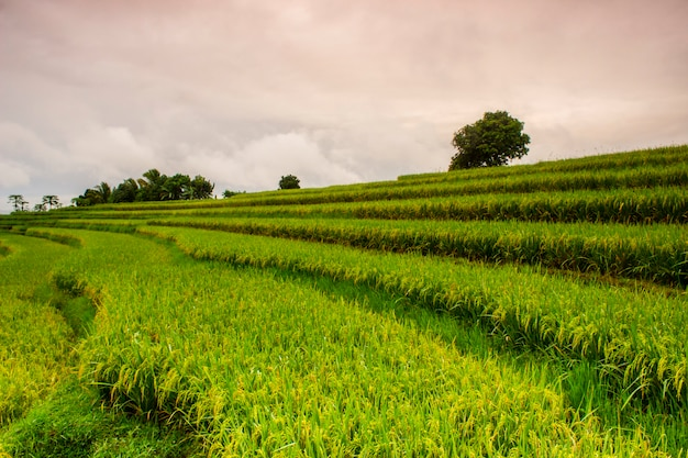 Views of rice fields in the morning and beautiful nature