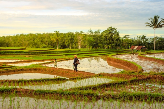 Views of rice fields with newly planted yellow rice and farmers with children walking on rice fields