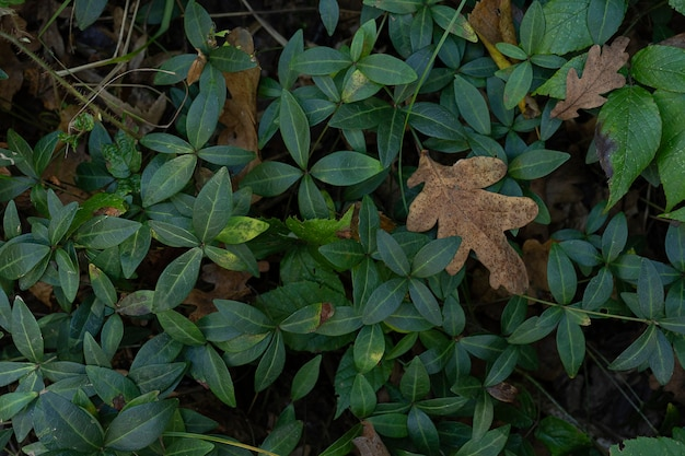 Vinca minor plant with small green leaves popular ground cover top view in forest leaf texture
