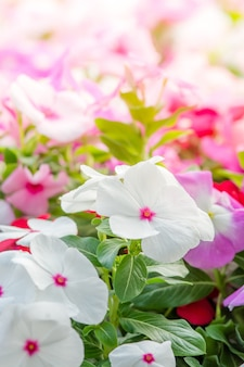 Vinca rosea flowers blossom in the garden, foliage variety of colors flowers, selective focus