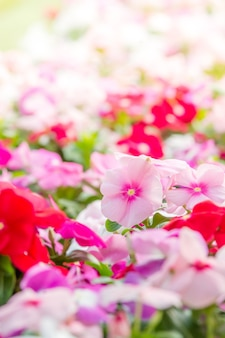 Vinca rosea flowers blossom in the garden, foliage variety of colors flowers