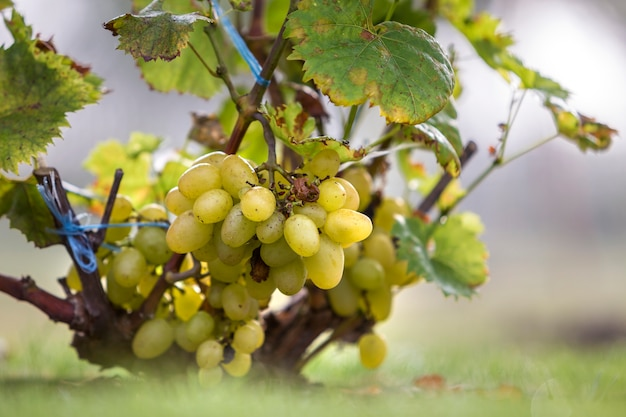 Vine branch with green leaves and golden yellow ripe grape cluster