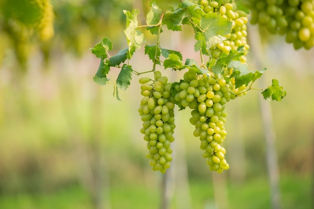 Vine and bunch of white grapes in garden the vineyard.