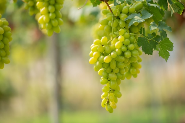 Vite e grappolo d'uva bianca nel giardino della vigna.