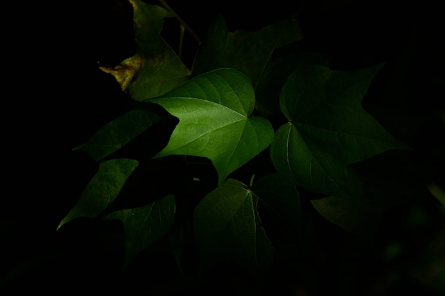 Vine leaf in the dark