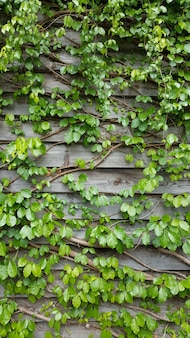 Vine plants climbing onto the woonden wall
