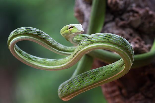 美しく鮮やかな色のつるヘビahaetulla