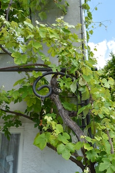 The vine winds its way along the wall of a village house, beautiful background.