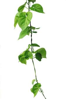Виноградная лоза с зелеными листьями в форме сердца, скрученная отдельно на белом фоне