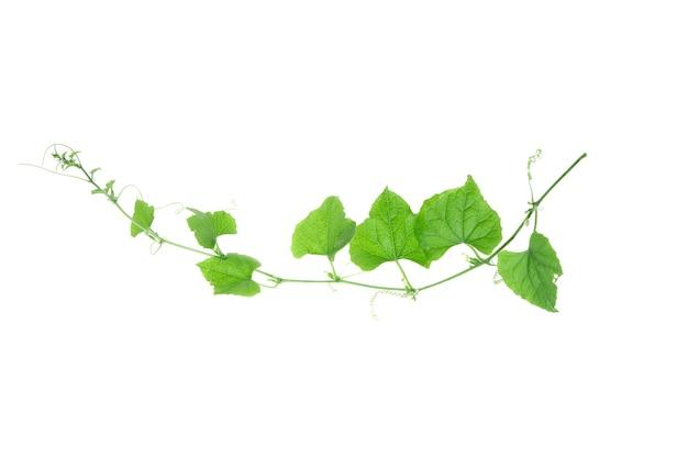 ブドウの葉は白い背景で隔離