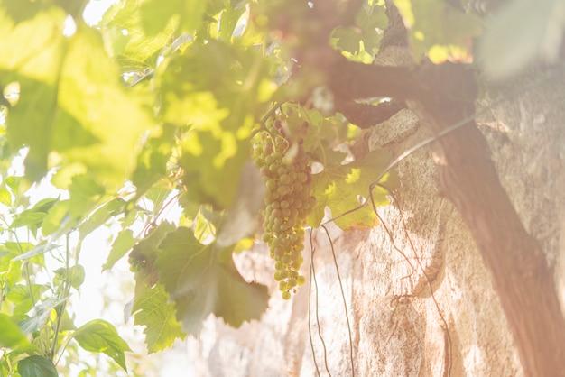 Виноградник и виноград в естественном месте