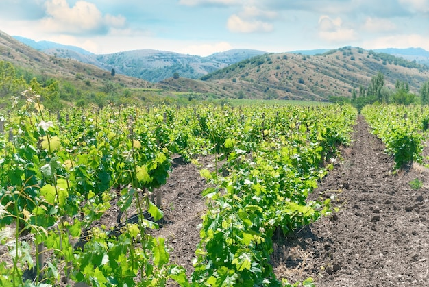 Виноградник и холмы - зеленый сельскохозяйственный ландшафт