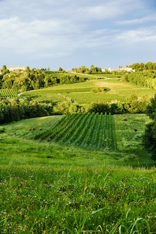 Vineyard in conegliano city