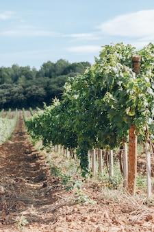 Поле виноградников на юге франции