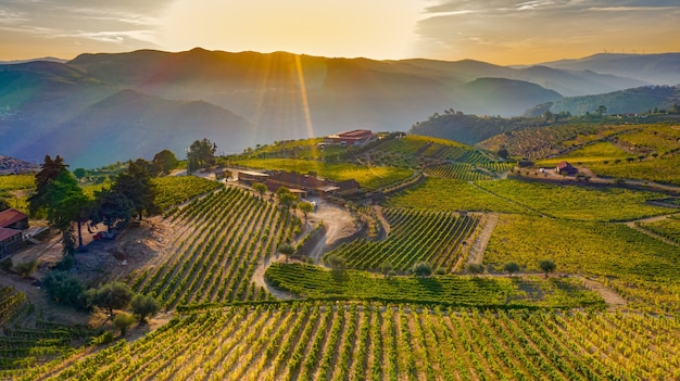Vineyard field at sunset