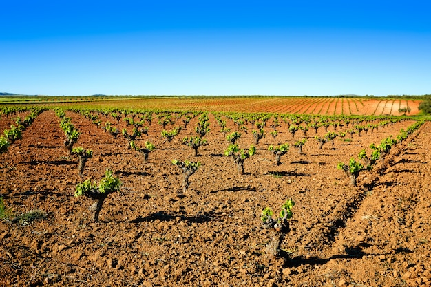 Vineyard fields in extremadura of spain