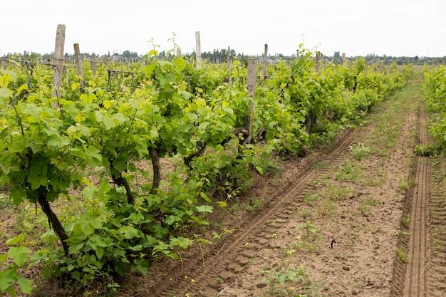 포도밭, 여름의 포도 잎, 우크라이나, 오데사 지역, 샤보