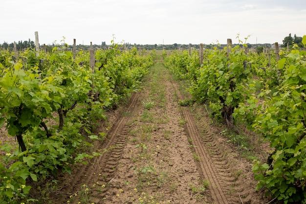 포도밭, 여름에는 녹색 포도 잎, 우크라이나, 오데사 지역, 샤보