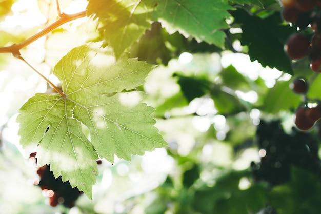 포도원 포도는 녹색 햇볕에 쬐인 잎, 설 익은, 숙성 및 잘 익은 포도로 움큼