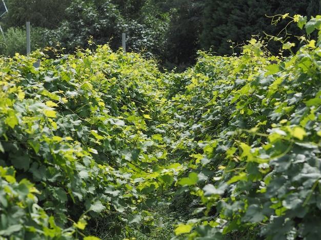 Плантация виноградников в долине аоста