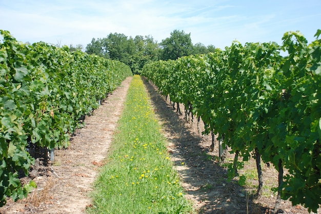 フランスのブドウ園