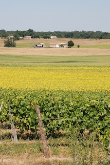 ひまわり畑前のブドウ園