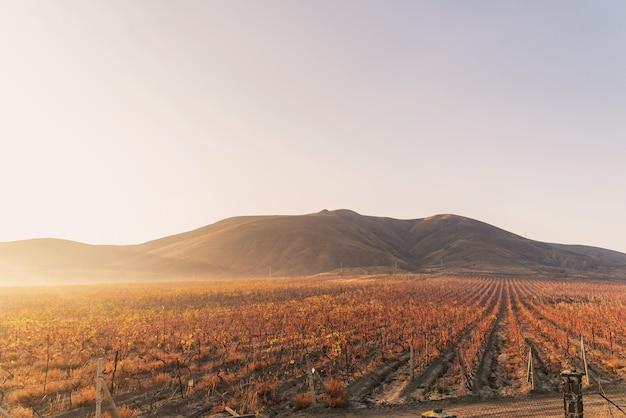 早朝の暖かい秋の太陽の下でブドウ園