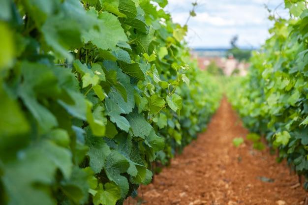 Vineyard scenic landscape
